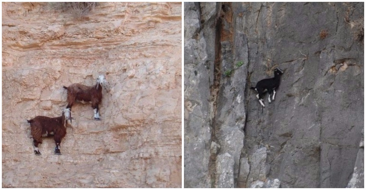 10 goats that deserve to participate in the French Climbing Championships