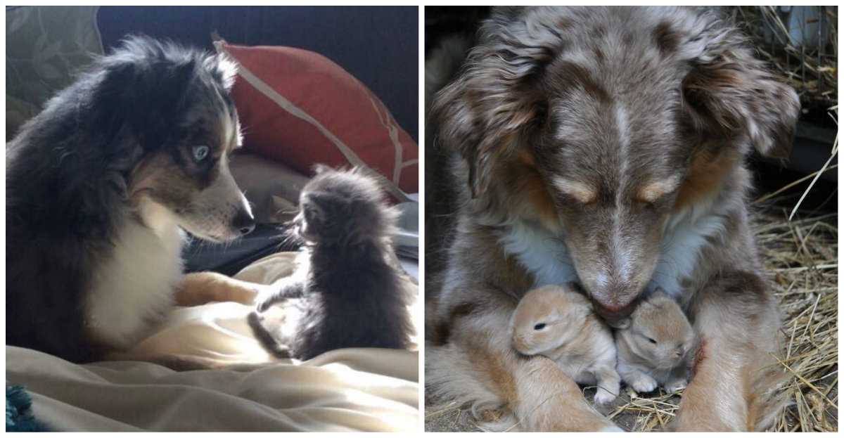 These 20 cute photos of Australian Shepherd